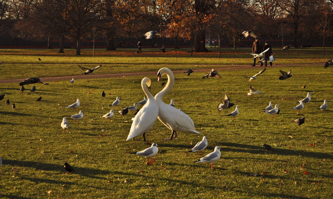 21_swans-in-hyde-park