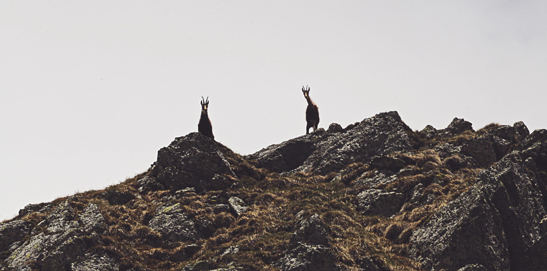 fagaras-black-goats