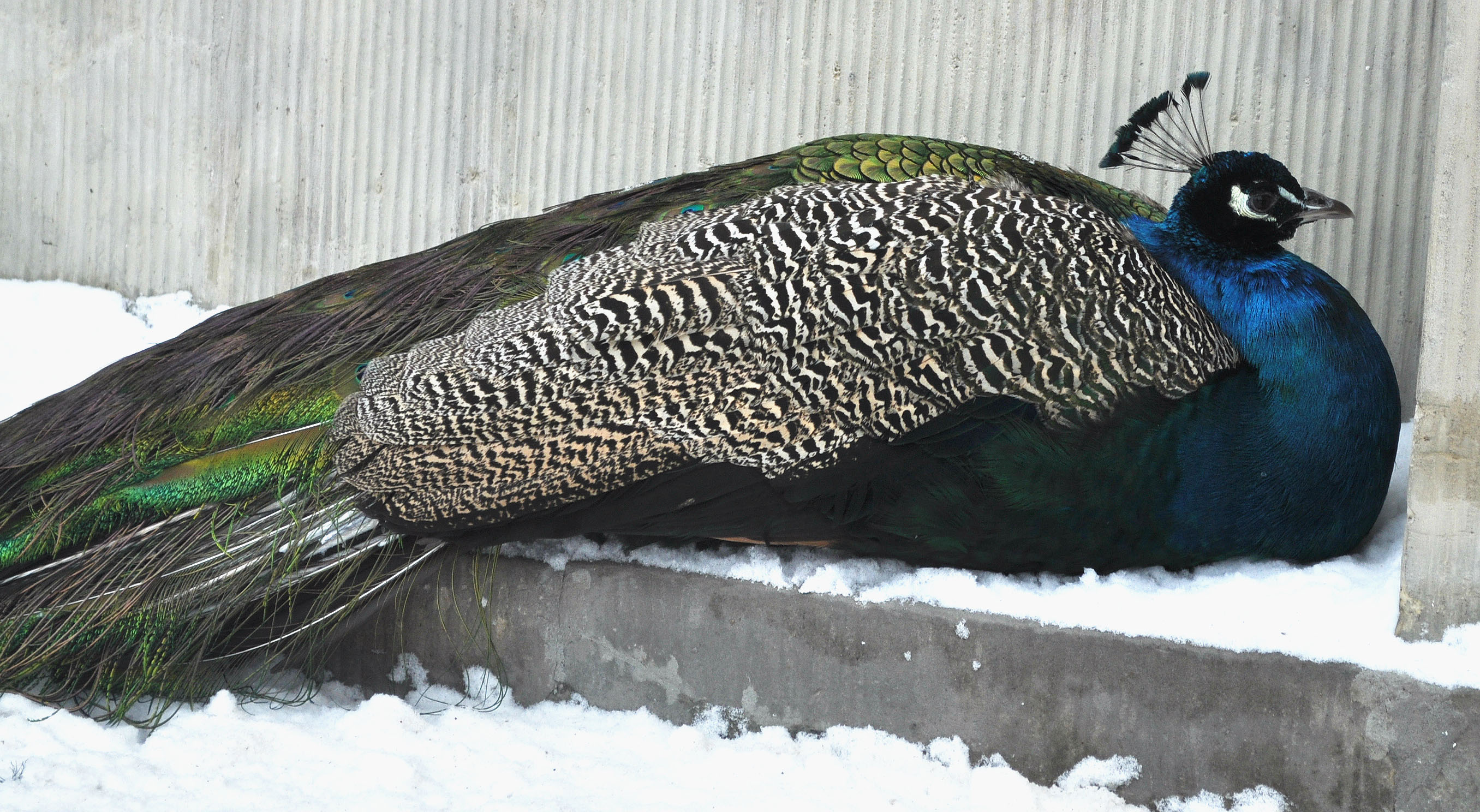 warsaw_peacock-on-snow