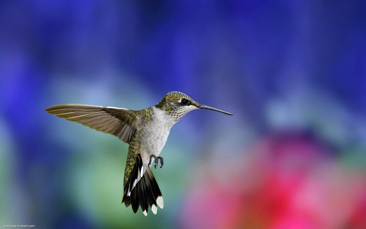 Colibri-Bird-Wallpaper-1