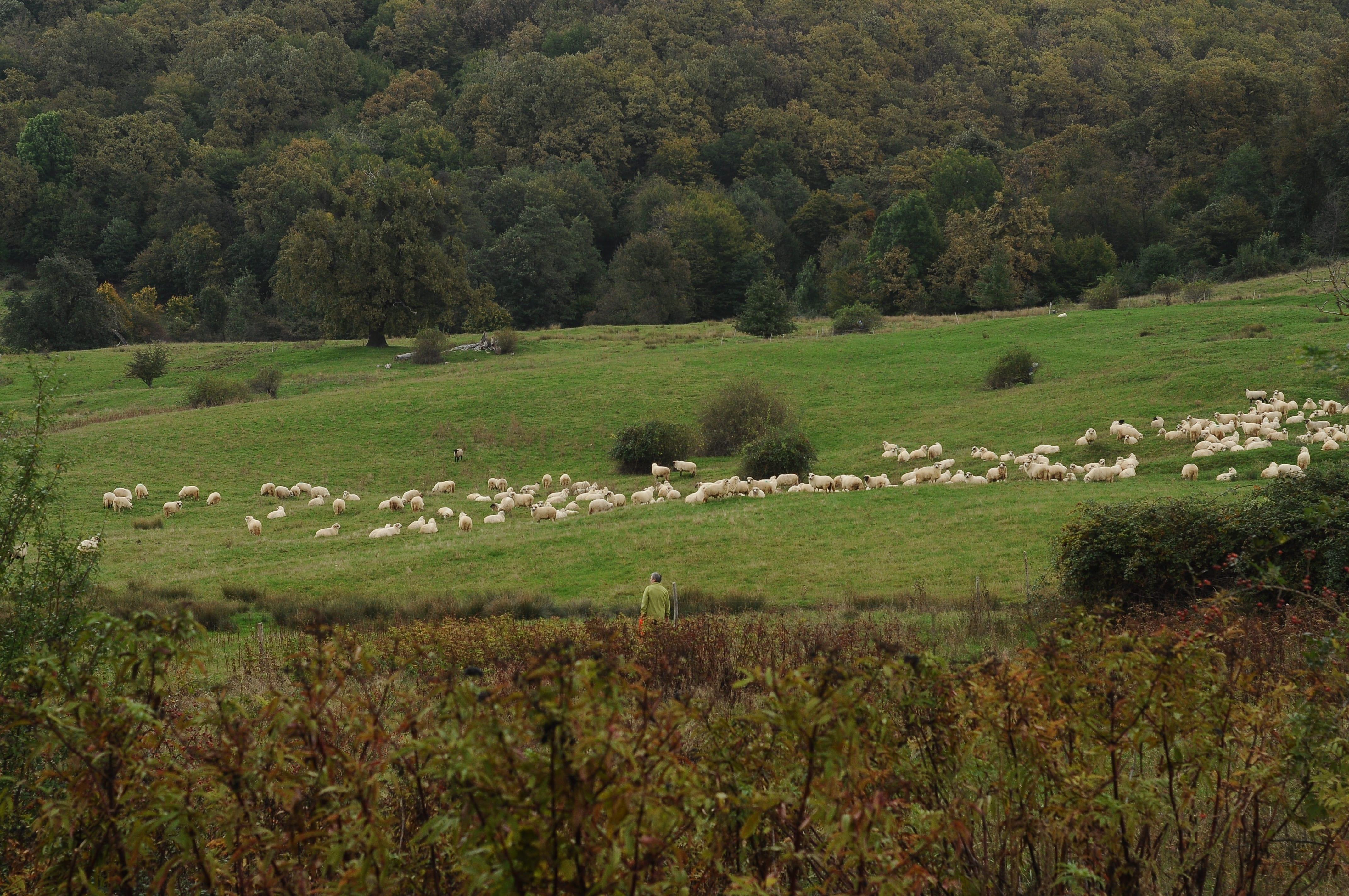 Turmă de oi lângă Zalău. Raluca Țurcanașu
